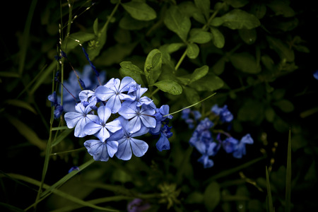 auriculata: Vignetted and in soft focus Blue plumbago, aka: Plumbago auriculata, Cape blumbago, and Cape leadwort