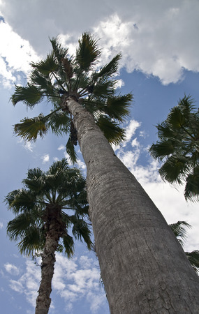 Looking upwards at a group of palm trees photo
