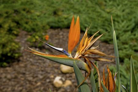 極楽鳥の花序がクローズ アップ表示