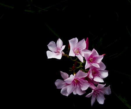 黒い背景に対してピンクの夾竹桃の Inflorescnesce