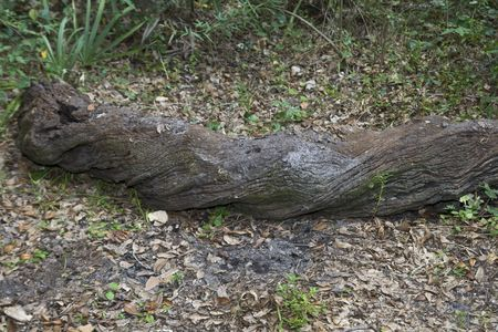 Decaying fallen tree trunk laying on the ground in a clearing in the forest Stock Photo