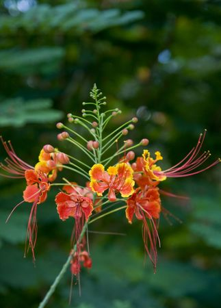 Close up of floral raceme on a dwarf poinciana tree photo
