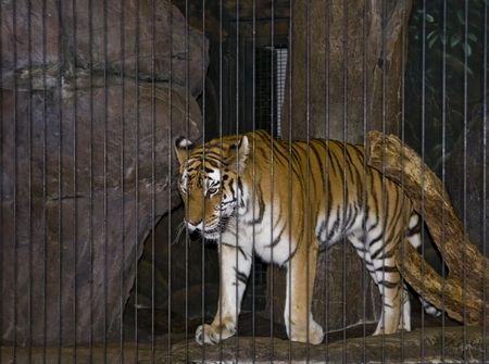 Tiger pacing in his cage with bars visible