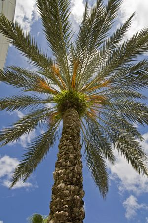Palm tree from below with ferns growing in crown