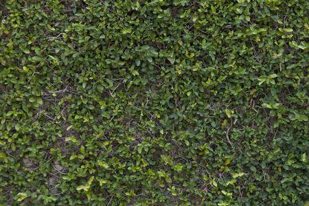 緑豊かな緑豊かなブドウ畑に近くで覆われてのプライバシーの壁 写真素材