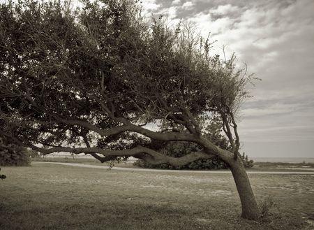 Crazy bent over oak tree growing at a very awkward angle looks like a giant bonsai photo
