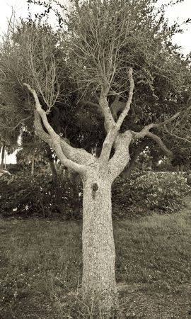 Monochrome picture of an oak tree growing at a very sharp angle photo