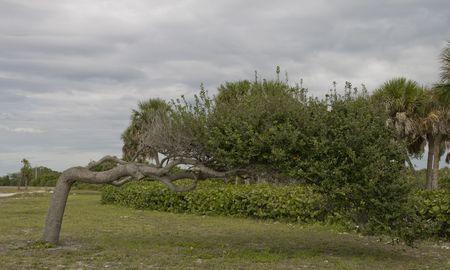 Oak tree growing sideways like giant bonsai photo