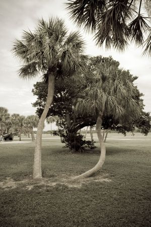 Sepia toned curvy trunked palm trees in the afternoon