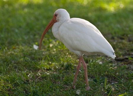 ciconiiformes: American white ibis walking on the grass