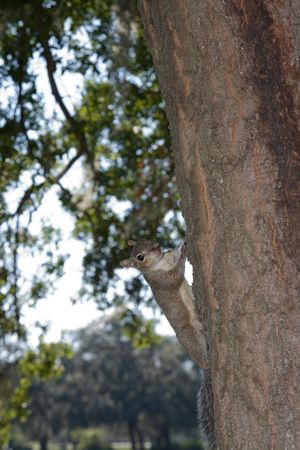 Badly scarred squirrel on the side of a tree