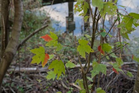 aceraceae: Maple sapling with leaves just begining to change color