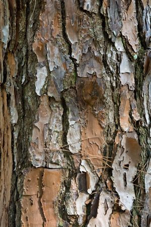 bark peeling from tree: Close up of a pine tree trunk with peeling bark