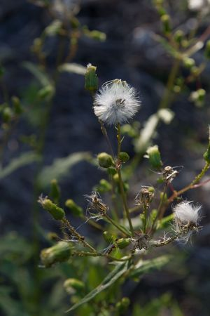sow: Spiny sow thistle seed heads and unopened blooms Stock Photo
