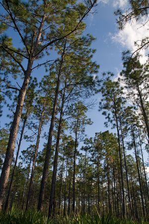空を背景にまばらな間隔のスラッシュ松の森