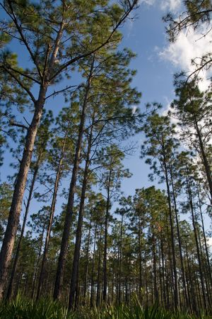 Forrest of sparsely spaced slash pines against sky