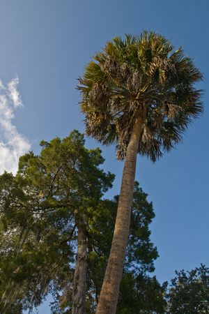 Looking up at a palm tree and some slash pines photo
