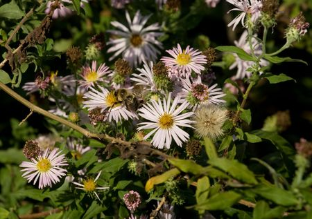 apocrita: White asters with honey bee collecting  pollen Stock Photo