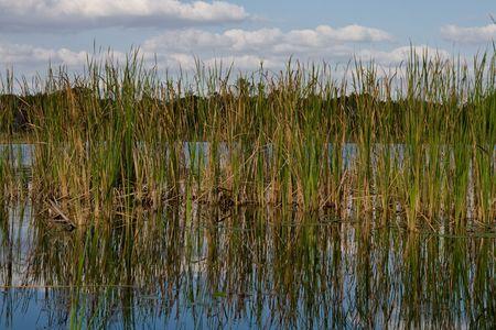 湖の端に浅い水の中の厚い蒲クラスター
