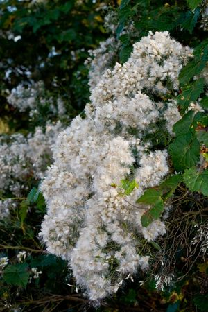 fluffy tuft: Groundsel tree - Baccharis halimifolia - seedheads all fluffy and dispersing with vines intertwined Stock Photo