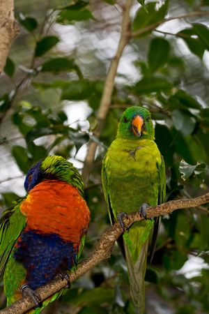 Two lorikeets perched on a branch one preening the other sticking out its tounge photo