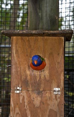 escaping: Lorikeet extricating itself from the confines of a simple birdhouse. Or is it backing in?  The little guy almost looks stuck (he isnt though)