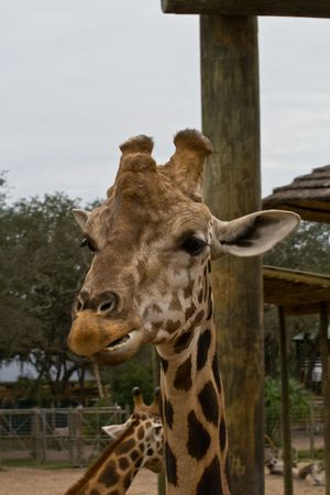 ossified: Headon view of a giraffe head, looks like hes chewing on something