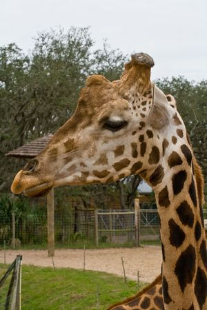 ossified: View of the neck and side of a giraffe head Stock Photo