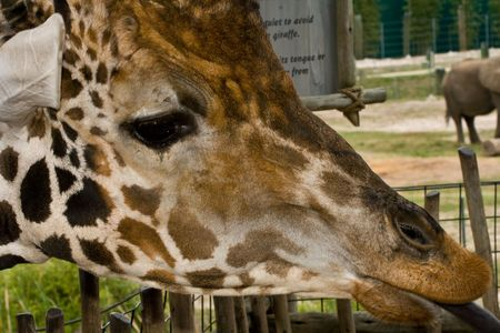 ossified: Closeup of a giraffe head with tounge sticking out
