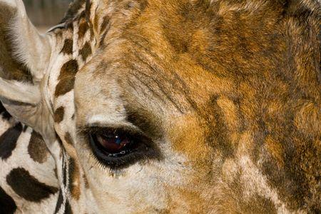 Closeup of a giraffes eye