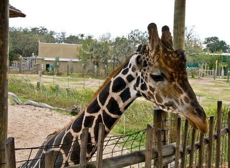 ossified: Image of a giraffe from the neck up