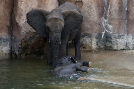 A Mother elephant attending to its calf who is wallowing in the water to cool down