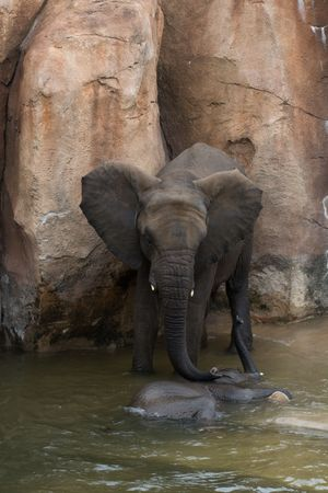 wallowing: A Mother elephant attending to its calf who is wallowing in the water to cool down