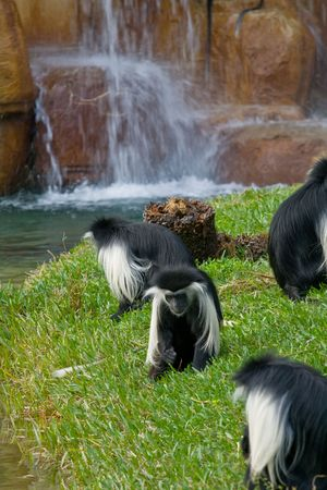 Several angola colobus foraging in grass with a waterfall in the background