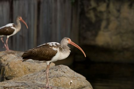 ciconiiformes: Juvenile american white ibises resting on rocks