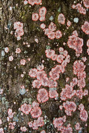fungoid: Red and Blue lichens growing on tree bark. Id liken it to a symbiosis between a fungus and a microbial plant Stock Photo