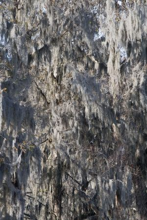 epiphyte: Tree completely covered with spanish moss in soft focus