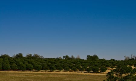 orange grove: Orange grove past a field with lots of blue sky Stock Photo
