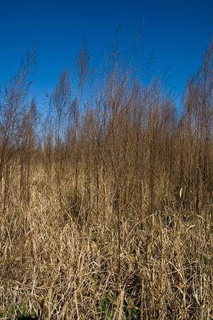 underbrush: Field of golden dried grasses with deep blue sky Stock Photo