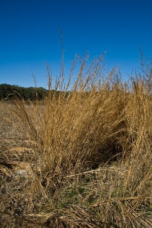 groundcover: Field of golden dried grasses and interesting tuft with deep blue sky Stock Photo
