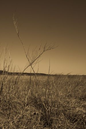 dried up: Grainy sepia toned image of a dried up grassy field with X shaped branches