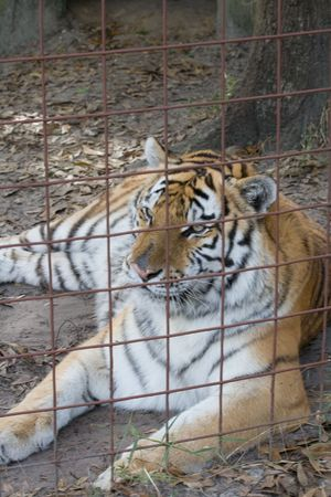 Tiger in heavy gauge fencing cage at rest photo