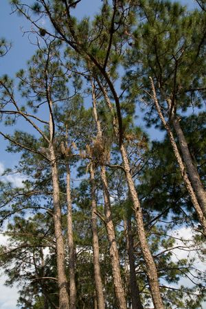 underbrush: View of slash pines in forest from below Stock Photo