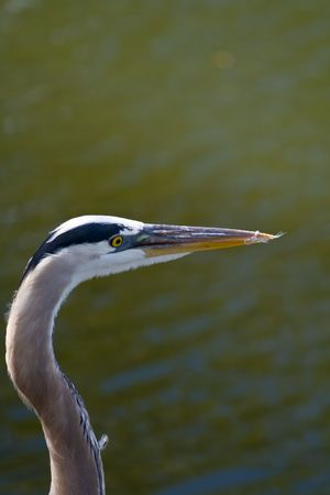 Tri color heron head against watery background photo
