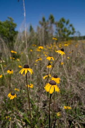 Black eyed susan flowers mixed in tall grass photo