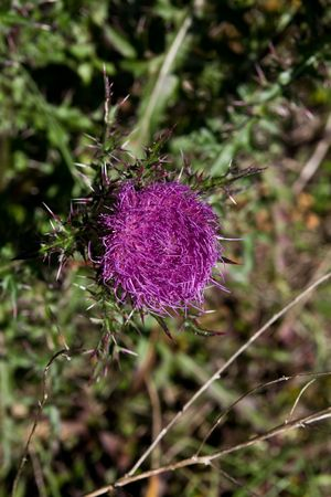 wolly: Wolly thistle aka Edible thistle bloom Stock Photo