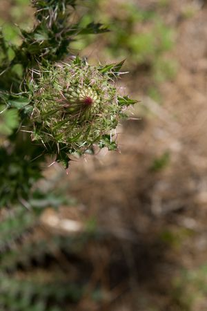 wolly: Wolly thistle aka Edible thistle unopened bud