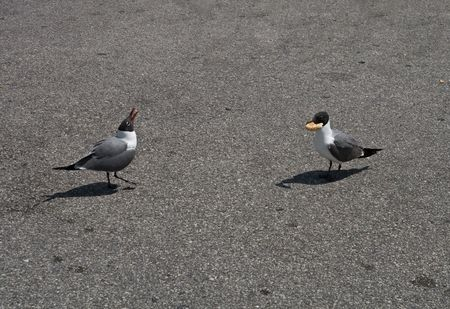 Two seagulls one with a hunk of bread the other shrieking with jealousy Stock Photo