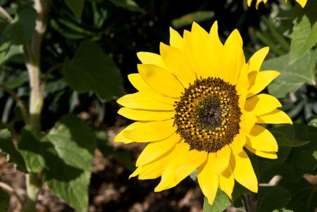部分的に咲いた花茎と黄色いヒマワリ