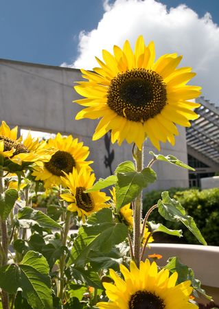 Sunflowers with building in background